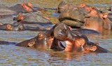 Hippos with mouths open while wallowing in the crowdwd water, south luangwa, zambia - 171219625