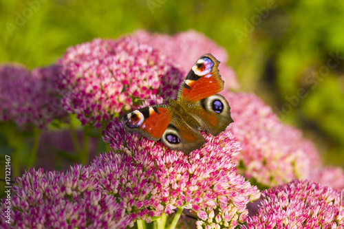 Aluminium Vlinder Red butterfly on a flowers