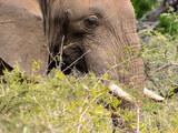 African bull elephant closeup