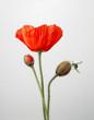 Leinwanddruck Bild - Mohnblume mit heuschrecke