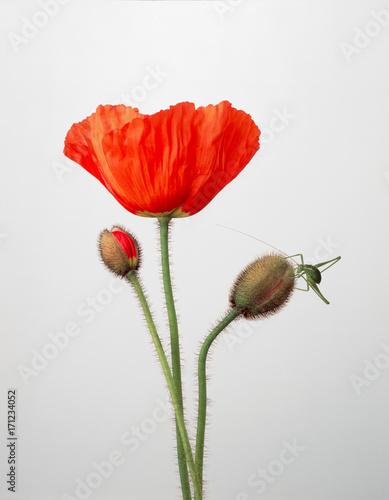 Leinwanddruck Bild Mohnblume mit heuschrecke