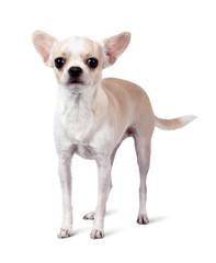 Chihuahua dog isolated on white background