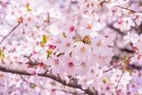 Fototapety 満開の桜
