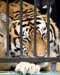 tiger in a close-up cage
