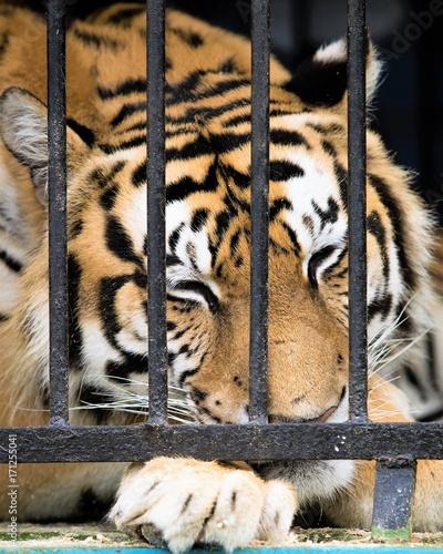 Fotobehang Tijger tiger in a close-up cage