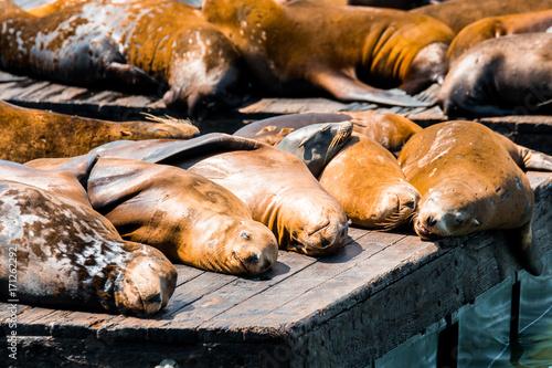 Fotobehang Lion lazy sea lions at san francisco pier 39, california