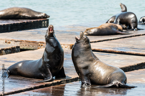 Poster lazy sea lions at san francisco pier 39, california