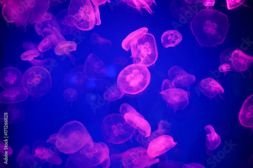 Jellyfish - 171266828