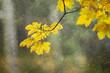 Yellow orange colored autumn season leaves on maple tree at rainy day. Selective focus used.