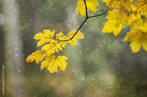 Yellow orange colored autumn season leaves on maple tree at rainy day. Selective focus used.