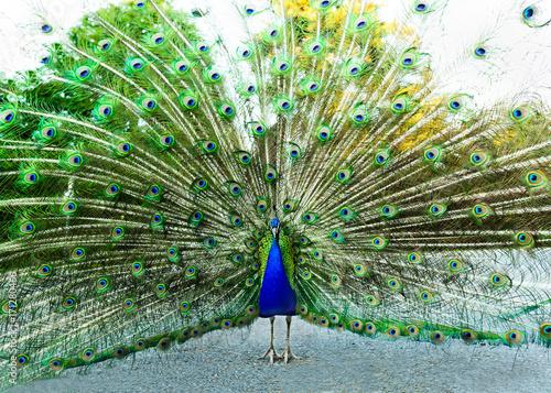 Fotobehang Pauw Peacock Feathers Mating