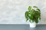 houseplant peperomia in white pot - 171287805