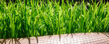 Fototapety Green grass at the park in Singapore
