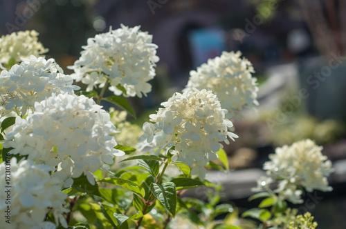 Aluminium Hydrangea Hortensias blancs dans un jardin public