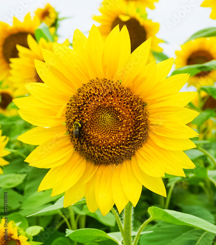 Papiers peints Jaune A Golden Yellow Sunflower blooming with a Honey Bee