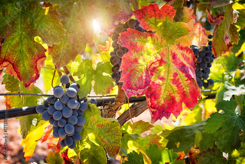 Deurstickers Wijngaard Red wine grapes on vineyards in autumn harvest. Ripe grapes in fall.