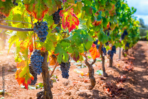 Papiers peints Vignoble Red wine grapes at sunset on vineyards in autumn harvest. Ripe grapes in fall.