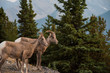 Bighorn Sheep in Banff National Park - Canada