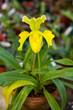 Paphiopedilum orchid flowers