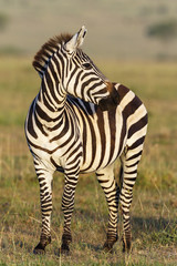 Zebra standing and looking aside