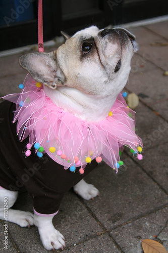 Fotobehang Chicago Adorable French Bulldog with pink costume