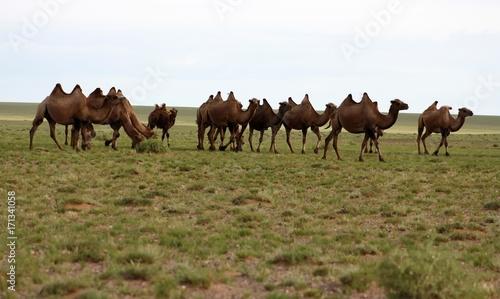 Fotobehang Kameel herd of camels in gobi desert
