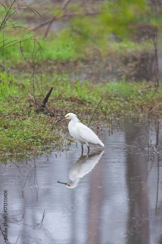 Snowy Egret in Swamp Poster