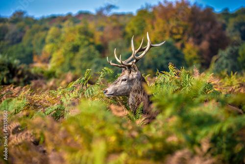 Fotobehang Hert A solitary buck partly hidden by overgrown plants