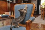 chaton tigré tabby dans intérieur maison déchirant fauteuil - 171362451