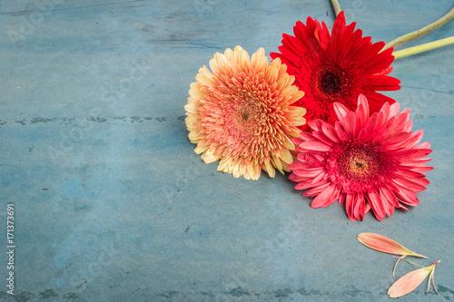 Fotobehang Gerbera Lovely gerbera daisy flowers on turquoise shabby chic background