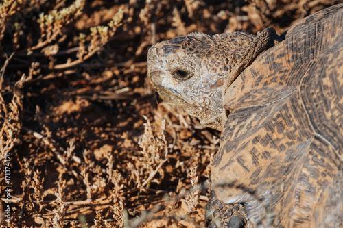 Aluminium Schildpad Tortoise in nature