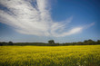 Blooming yellow rapeseed field during the summer in Collingwood, Ontario