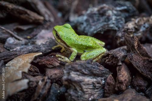 Fotobehang Kikker Green tree frog.