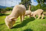 flock of merino sheep in rural ranch farm - 171386287