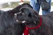 Newfoundland big dog