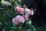 Rose - 171415051