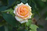 Rose - 171415079