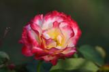 Rose - 171415085