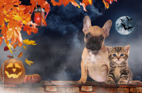 Poster Franse bulldog Small cat and dog sitting beside pumpkin - halloween