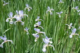 Fototapety Flowerbed with lilac flowers of butterfly irises