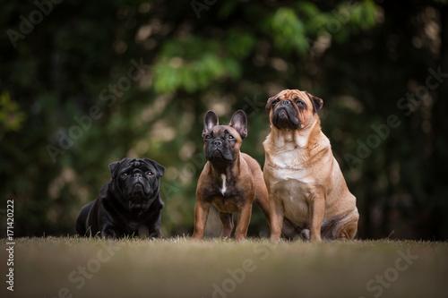 Fotobehang Franse bulldog Mops und Franzose