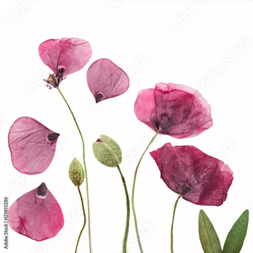 Pressed and dried poppies flower background - 171455286