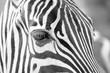zebras - 171459420