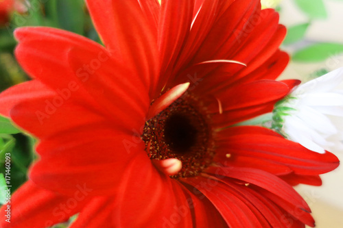 Fotobehang Gerbera Red flower