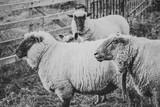 drei Schafe schwarzweiß