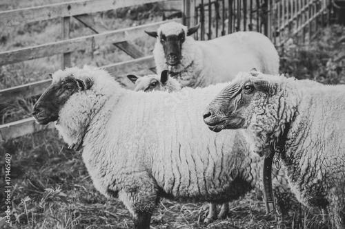 drei Schafe schwarzweiß - 171465689