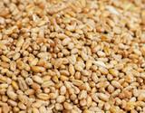 Surface of ripe grain. - 171466029