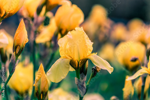 Aluminium Iris Yellow iris flower on a green background