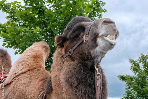 Fotobehang Kameel portrait of a camel