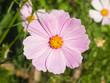 Mexican Aster or Garden cosmos, Cosmos bipinnatus, light-purple flower close-up, selective focus, shallow DOF - 171476076